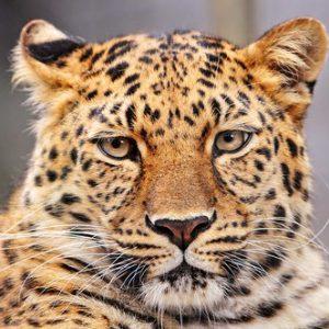 豹,パンテール,カルティエ